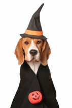 Beagle dressed as a witch