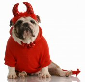 Bull Dog in Devil Outfit