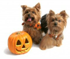 Yorkies and a Pumpkin